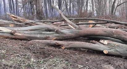 Շնողի բնակիչները Թեղուտից ապօրինաբար հաճարենի և քամատապալ ծառեր են հատել