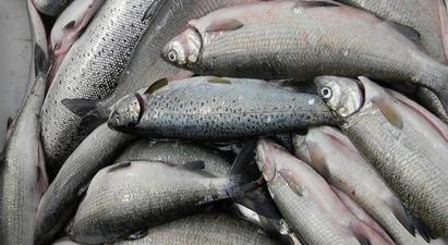 Ովքե՞ր կկարողանան սիգ որսալ Սևանա լճում.  արդյունագործական ձկնորսության լրամշակված կարգը