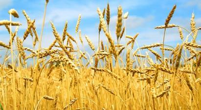 Պետությունը սուբսիդավորվելու է գյուղացու գնած 1 կգ աշնանացան ցորենի համար սահմանված գնի 70 դրամը